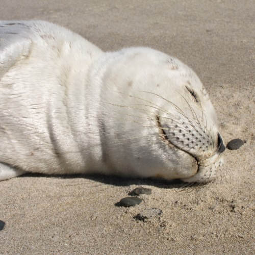 A baby seal taking a 'catnip' on the beach: ah, the bliss of a deep sleep…..