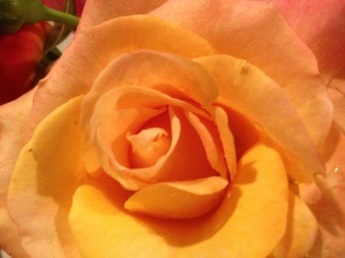Final rose of 2012