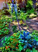 My colorful garden, filled with kale, edamame, peppers, corn , tomatoes and herbs: so inspiring