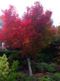 Brilliant fall colors on my morning walk: breathtakingly beautiful